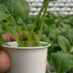 Sayuran Hidroponik Bebas Pestisida di Sentul