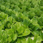 Jual Sayuran Hidroponik di Cimahpar Bogor