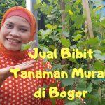 Jual Bibit Tanaman Murah di Bogor Barat. WA 08118881077